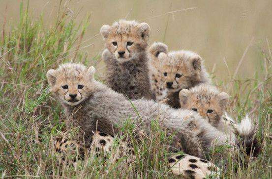 Mittagspause bei Familie Gepard