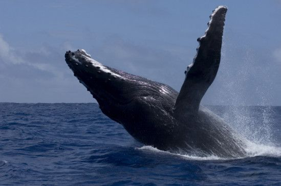 Macht 'ne ganz schöne Welle: der Buckelwal