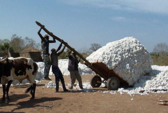 Kein Geld, aber so gut wie: Baumwollernte in Burkina Faso