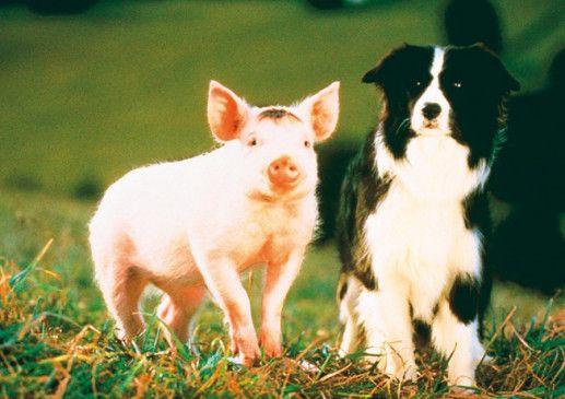 """Schweinchen """"Babe"""" will ein perfekter Schafhüter werden"""