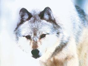 Ein Geist oder ein echtes Tier? Der weiße Wolf