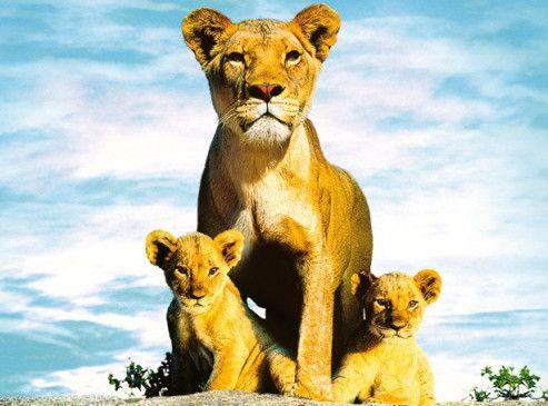 Bald die Könige der Savanne? Suki und Linus mir ihrer Mutter