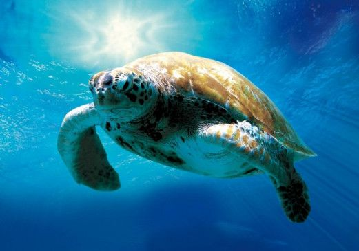 Mit Bombastmusik durch die Weltmeere: die Meeresschildkröte