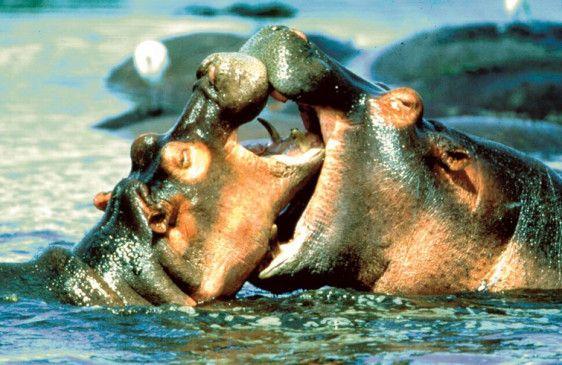 """Der Kuss der Flusspferde im späteren """"Serengeti""""-Nationalpark"""