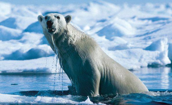 Ein Eisbär im erfrischenden Nass