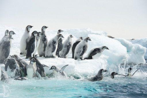 Die jungen Pinguine, die ihren Flaum noch nicht ganz verloren haben, müssen sich zum ersten Mal ins Meer stürzen, das ihnen gänzlich unbekannt ist.