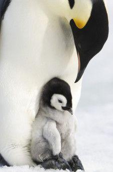 Unermüdlich und unter größten Entbehrungen sorgen die Pinguineltern lange für ihren Nachwuchs.