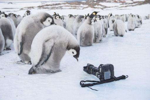 Ein Kaiserpinguin-Junges betrachtet neugierig die allerneuste Kameratechnik.