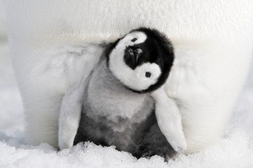 Auch nach dem Schlüpfen muss sich das Pinguinküken noch eine Weile in der Bauchfalte eines Elternteils aufhalten.