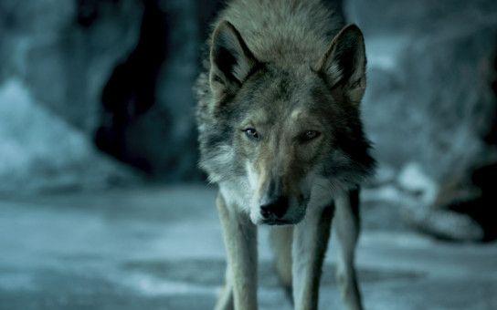 Erst ein bisschen böse, kuschelt der Wolf schon recht bald.