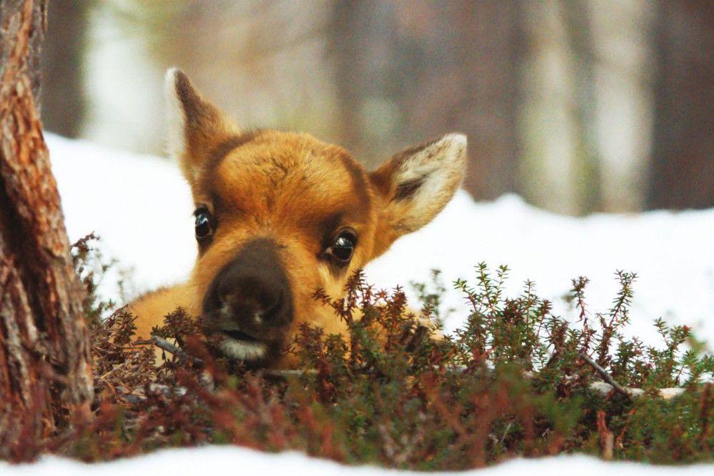 Der kleine Ailo kam zu früh auf die Welt. Jetzt muss er sich im winterlichen Lappland bewähren.