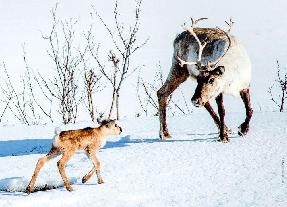 Ailo und seine Mutter machen sich auf die Suche nach ihrer Herde.