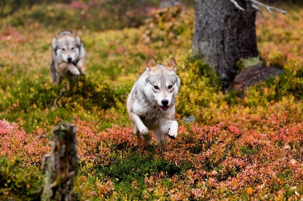 Stete Gefahr: Wölfe bedrohen die Rentiere.