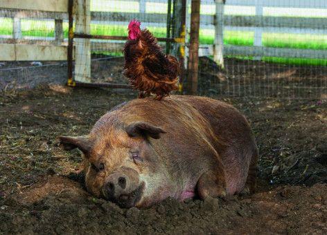 Eine außergewöhnliche Freundschaft: Das Schwein Emma und der Hahn Greasy gehen durch dick und dünn.
