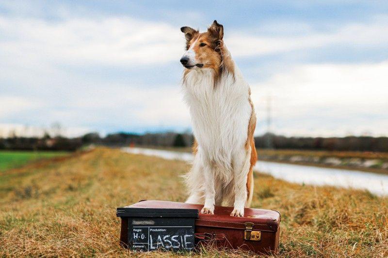 """Im neuen Film wird """"Lassie"""" von Bandit gespielt."""