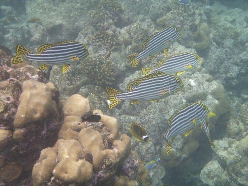 Die Malediven sind bekannt für eine atemberaubende Unterwasserwelt. Beim Schnorcheln entdeckt man all die Fische, die man hierzulande nur aus guten Aquarien kennt.