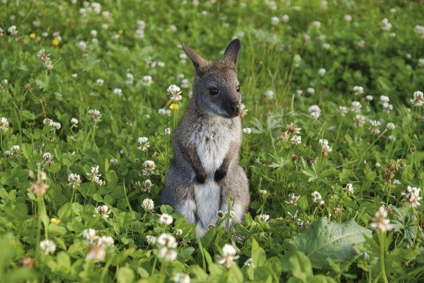 Das Känguru-Baby Willy ist ebenfalls am Waldwipfelweg bei Sankt Englmar anzutreffen.