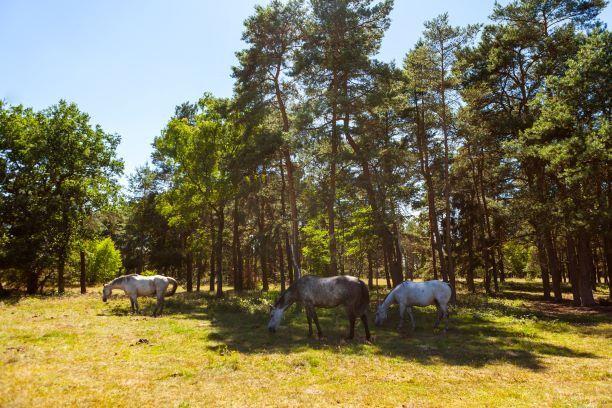 Ein Wildweideprojekt sorgt dafür, dass die Senner Pferde nach vielen Jahrzehnten der Abwesenheit wieder in ihre alte Heimat im Teutoburger Wald zurückgekehrt sind.