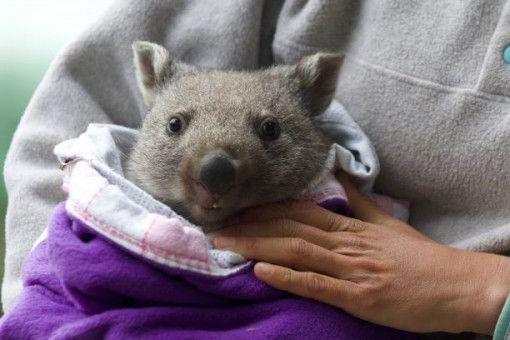 Auch um Wombats kümmert sie sich in ihrer neuen Heimat.