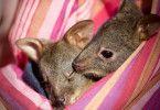 Zwei kleine Kängurus in ihrem Stoffbeutel.
