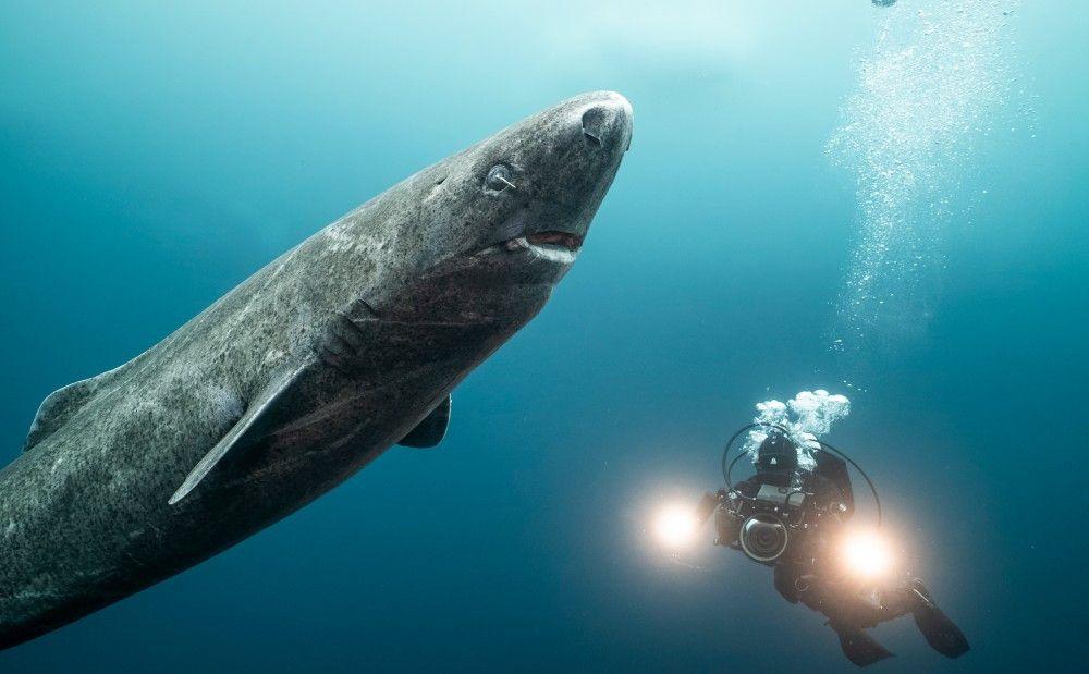 Grönlandhaie, auch Eishaie genannt, können bis zu 500 Jahre alt werden.