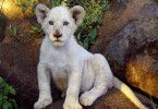 Der kleine, weiße Löwe Letsatsi ist neugierig auf die Welt.