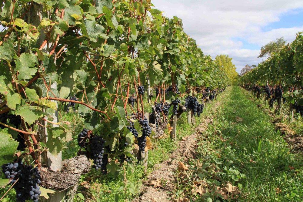 Vineyard, Bordeaux