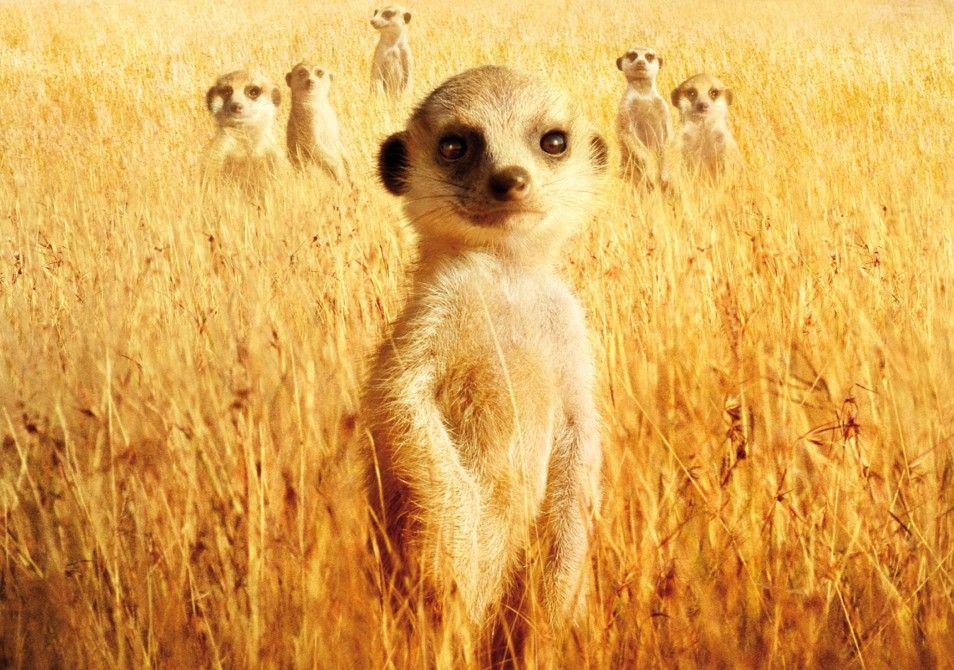 Alles klar in der Kalahari? Erdmännchen in Hab-Acht-Stellung!