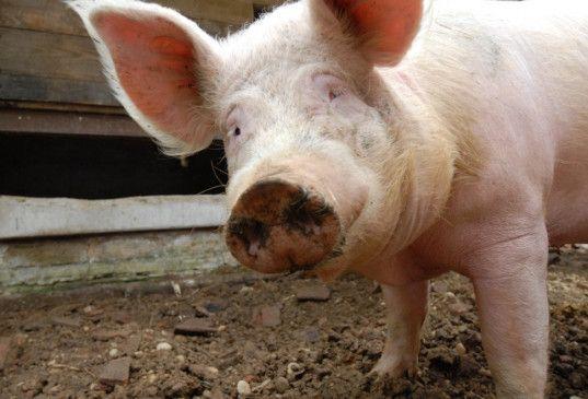 Schweinchen Babe lässt grüßen - das Schwein freut sich auf seine neue Freiheit