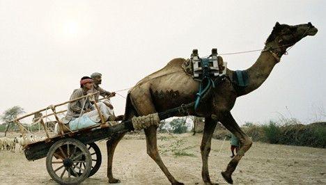 Indien: Vater und Sohn unterwegs mit Dromedar