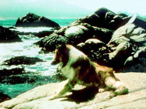 Collie Lassie sehnt sich zurück nach Hause