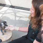Tests mit Lemuren zeigen, dass auch Tiere rechnen können.