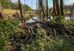 Durch den Dammbau gestaltet der Biber neue Lebensräume für viele Tiere und Pflanzen.