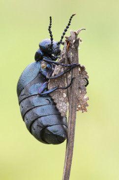 Käfer.