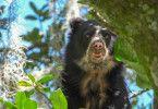 Die Biologen folgen den Spuren zweier Brillenbären-Weibchen und ihrer Jungen. Dabei entdecken sie, wie verblüffend geschickt sich diese keine Winterruhe haltende Bärenart in den Bäumen bewegt.