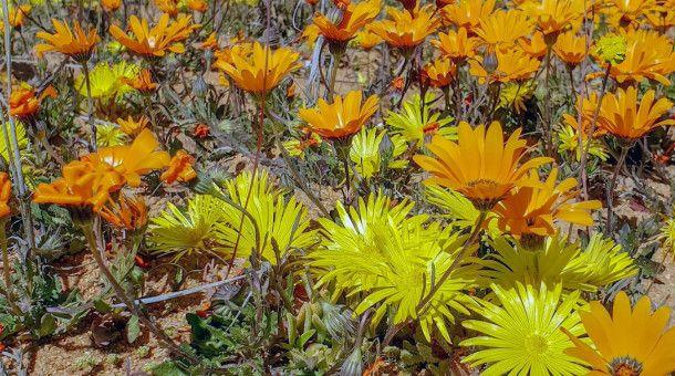 Eine Zeitraffer-Bildfolge aus einem Dutzend von Jahren zeigt, wie schnell eine Wüste erblüht, nachdem nur ein paar Wassertropfen gefallen sind.