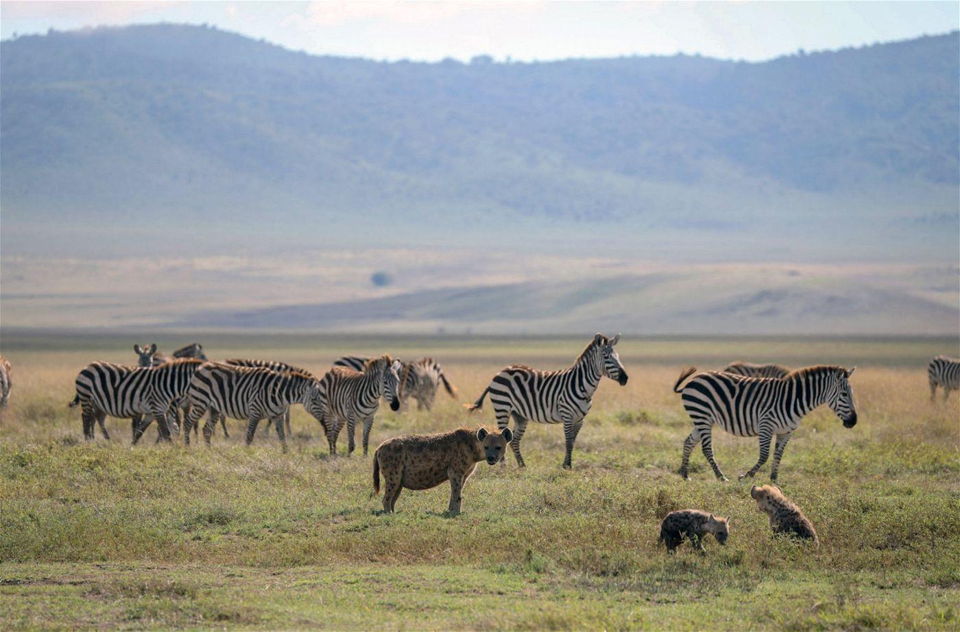Steppenzebras sind neben Gnus und Kaffernbüffelkälbern die Hauptbeute von Tüpfelhyänen.