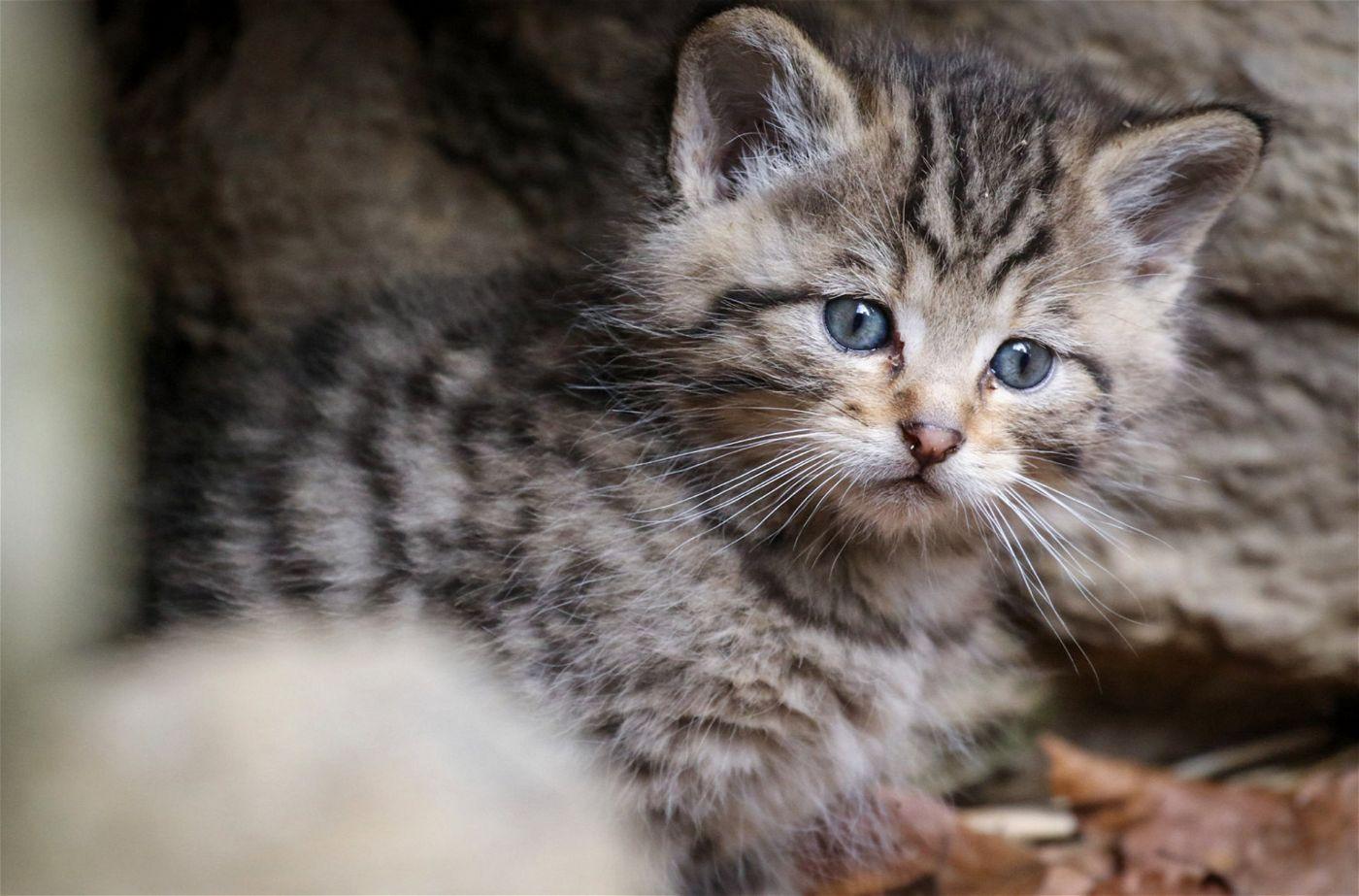 Wildkatzen bekommen nur einen Wurf pro Jahr. Meist sind es ein bis vier Junge.