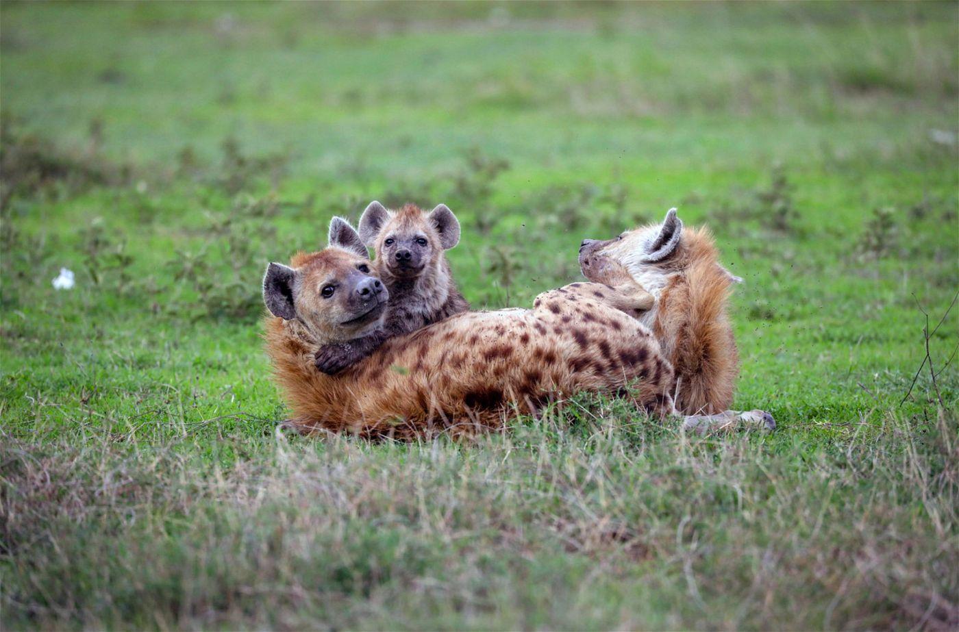 Hyänen sind sehr soziale Beutegreifer, die im Rudel leben. Der Anführer eines Clans ist immer ein ranghohes weibliches Tier.
