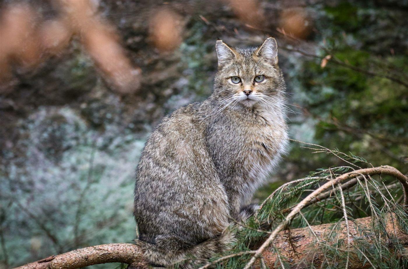Wildkatzen haben ein hervorragendes Gehör und können auch in der Dämmerung sehr gut sehen. Ihre Schnurr- und Tasthaare sind besonders lang ausgeprägt und fallen sofort im Erscheinungsbild auf.