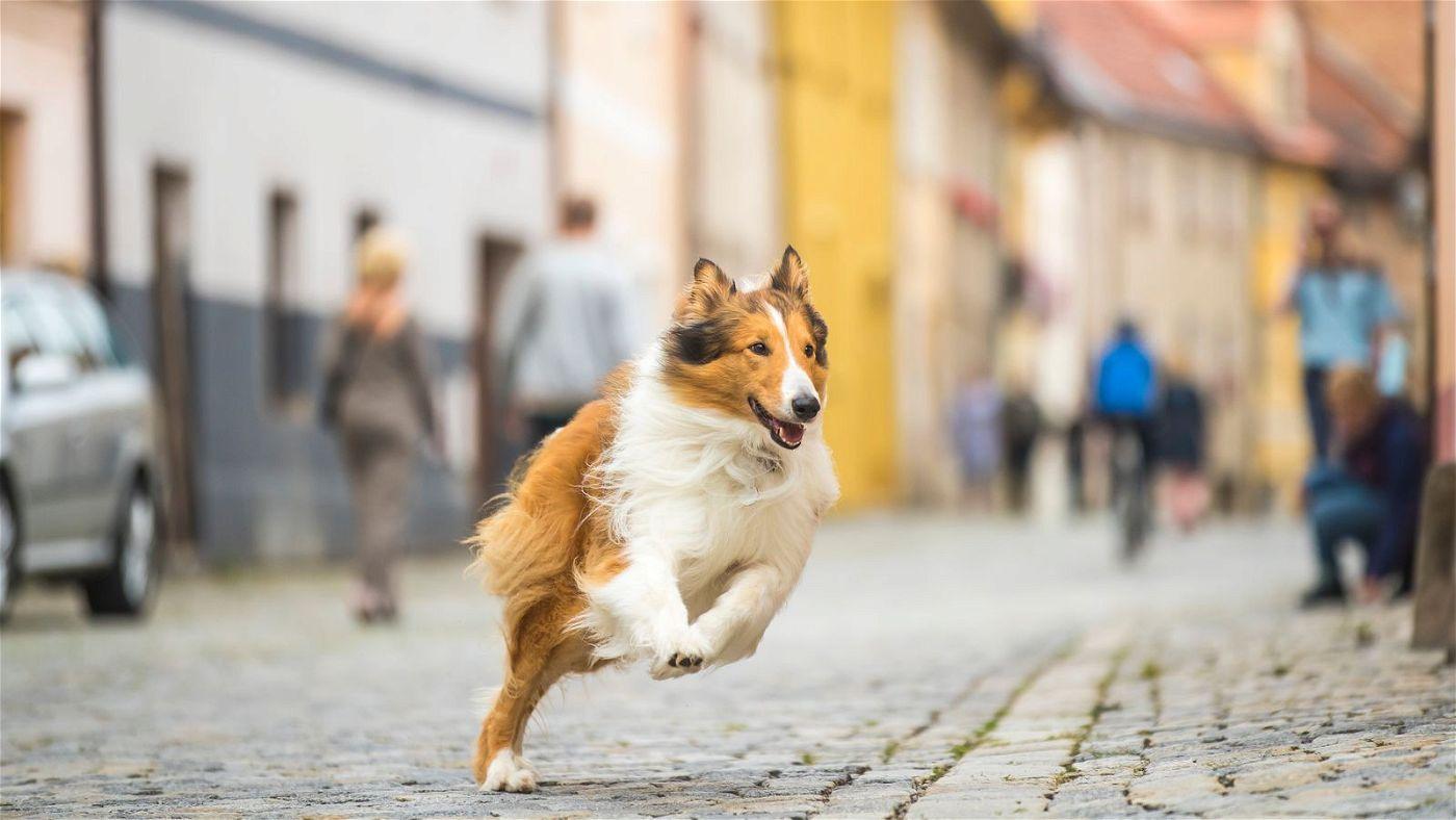 Lassie nimmt die Pfoten in die Hand, um ihr geliebtes Herrchen rechtzeitig von der Schule abzuholen.