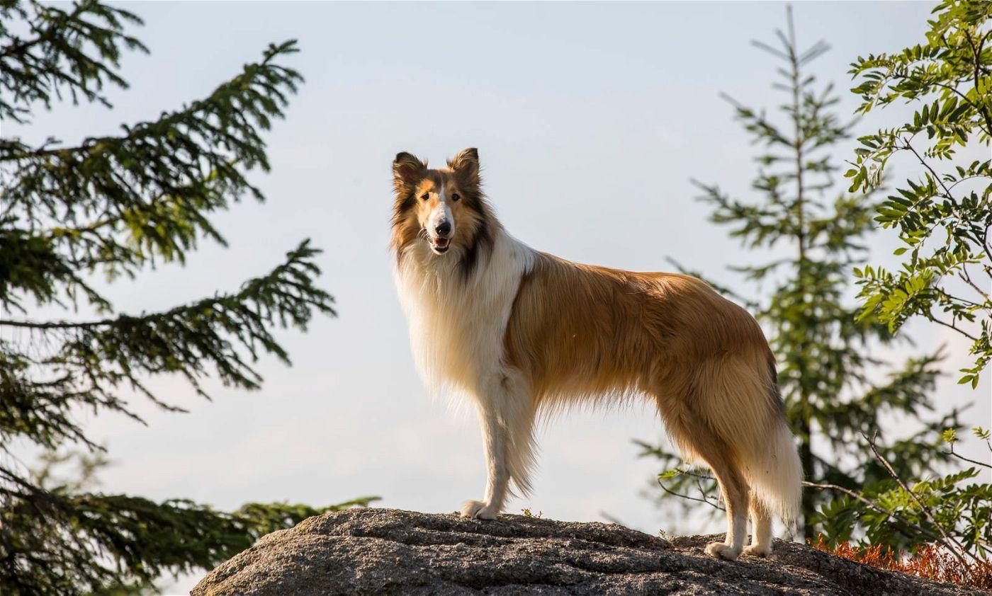 Hündin Lassie wird von mehreren Rüden verkörpert.