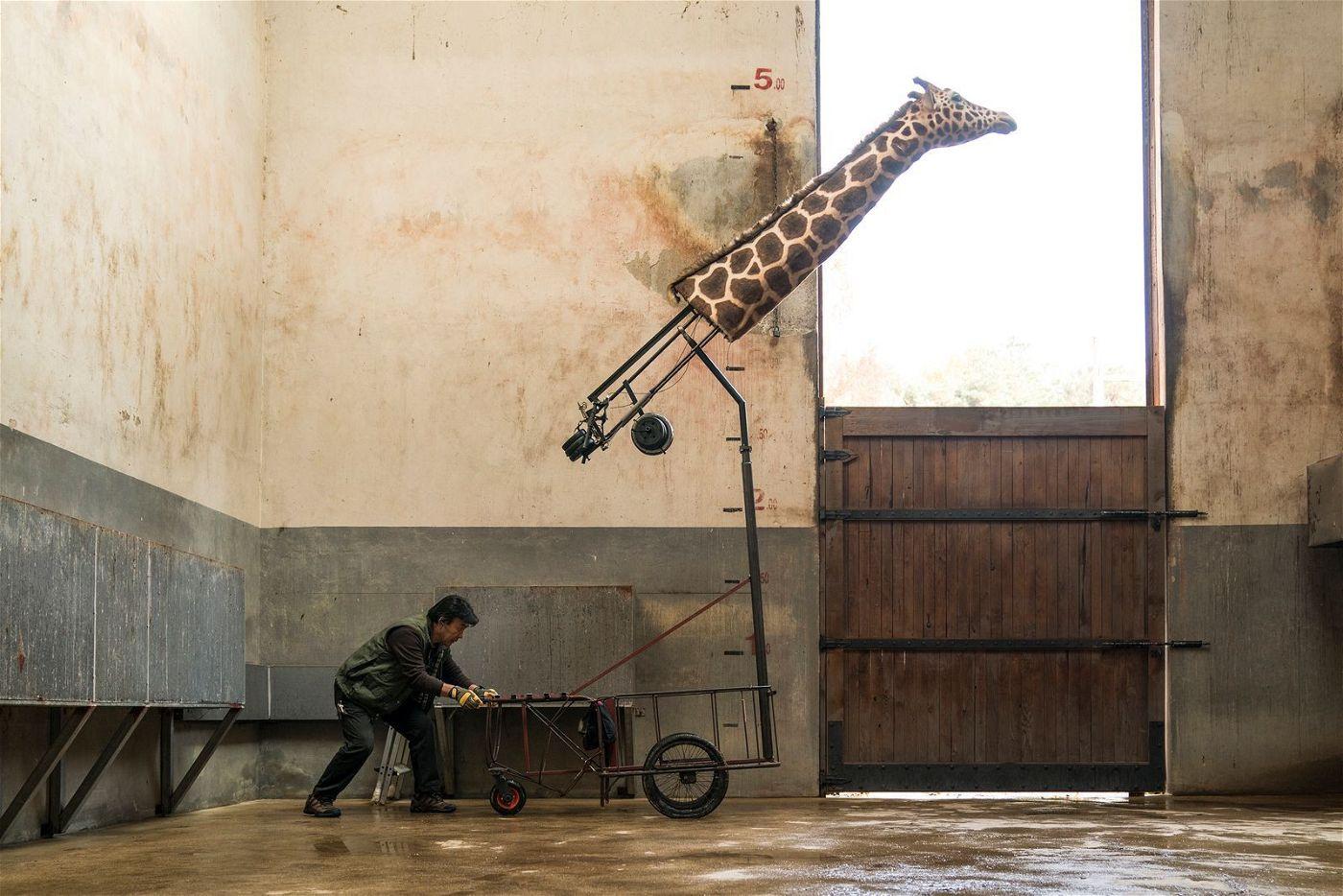 Ein Zoo ohne Giraffe? Undenkbar! Also wird improvisiert.